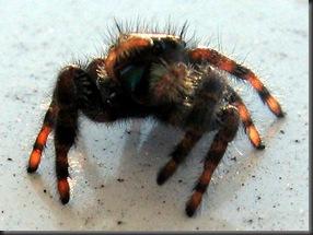IMG_0159,spider,crop