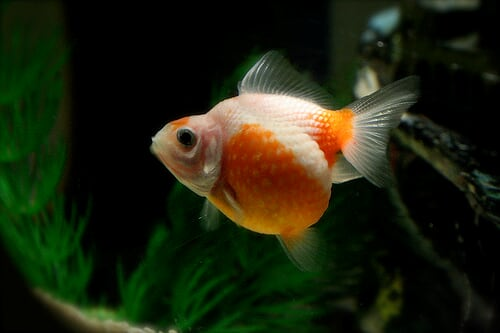 Pearlscale goldfish - photo#27